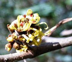 planta hamamelis