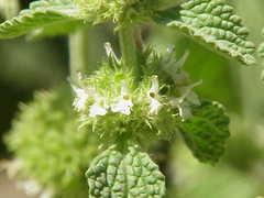 planta de marrubio