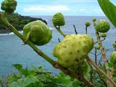 fruto de noni