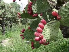 planta de nopal