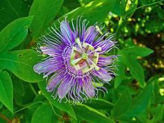 planta de pasiflora