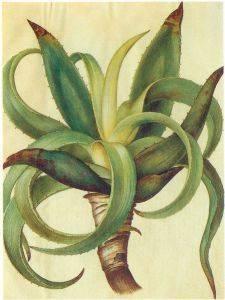 Aloe vera para el tratamiento casero y natural de la psoriasis
