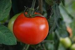 planta de tomates