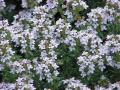 planta del tomillo